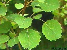 Чем полезен осиновый лист при геморрое